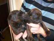 staffy cross rottie pups need new homes for xmas