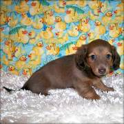 Kc Dachshund Puppy For Sale